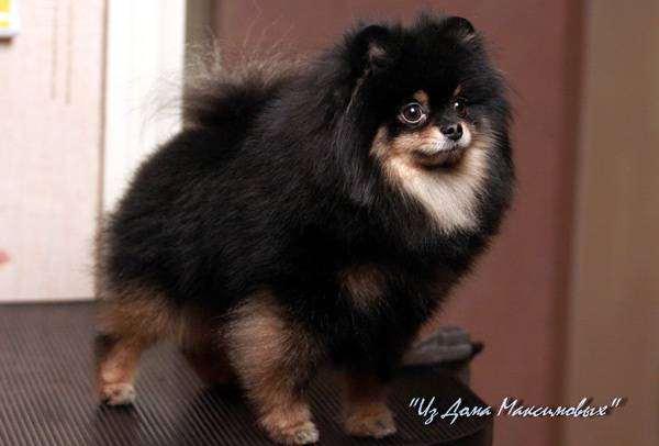 Немецкий миниатюрный шпиц (померанский), фото собака в доме фотография