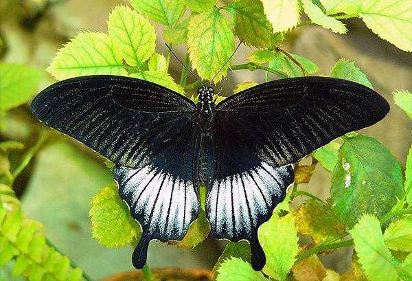 Отряд: чешуекрылые (бабочки) - lepidoptera