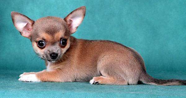 Щенок чихуахуа, фото выращивание щенка фотография изображение
