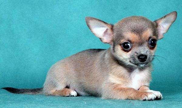 Щенок чихуахуа, фото собака и ребенок, фотография