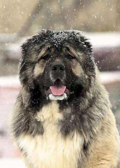 Кавказская овчарка, фото собаки картинка породы собак