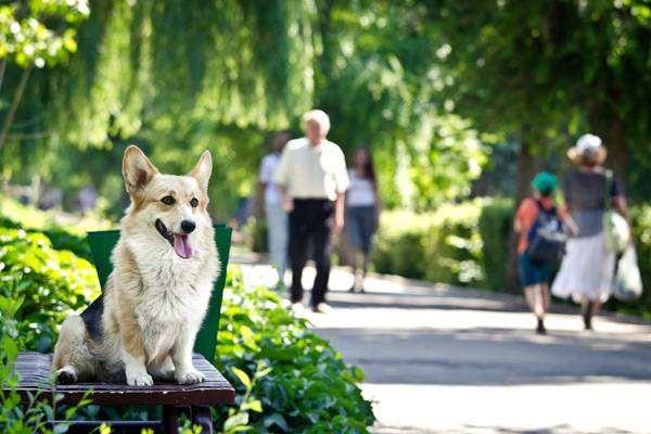 Вельш-корги-пемброк, фото собаки в доме изображение