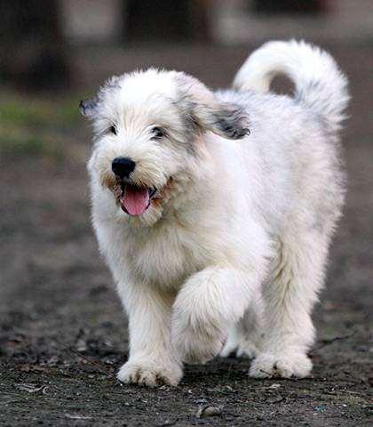 Щенок южнорусской овчарки, фото поведение собаки изображение