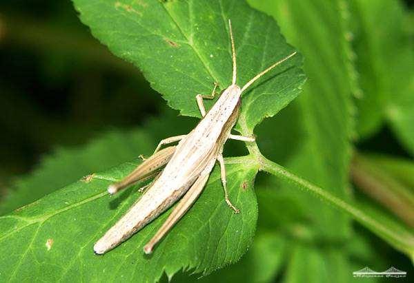 Кузнечик, фото насекомые фотографии прямокрылые