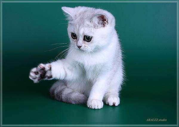 Британская короткошерстная кошка, фото породы кошек фотография