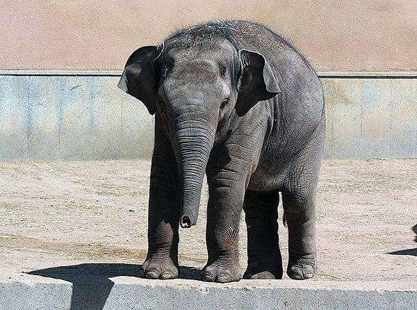 Слоненок, фото фотография слоны