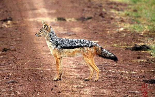 Чепрачный шакал (Canis mesomelas), фото хищные животные фотография картинка
