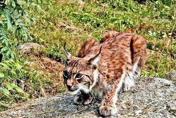 Рысь (Lynx lynx), фото дикие кошки фотография картинка хищники