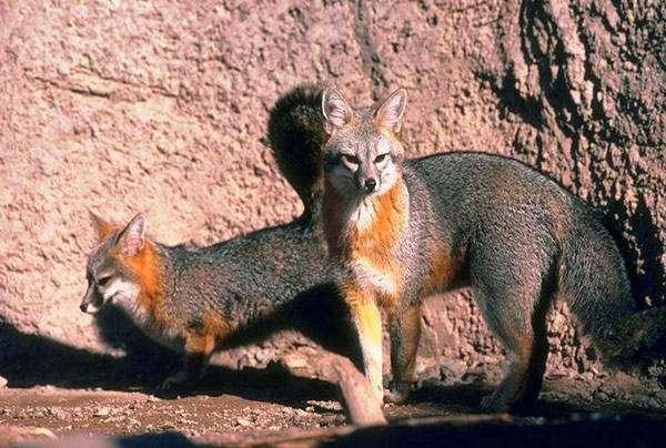 Серая лисица (Urocyon cinereoargenteus), фото хищные животные фотография картинка