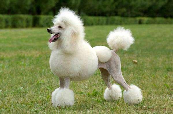Белый пудель, фото породы собак фотография картинка