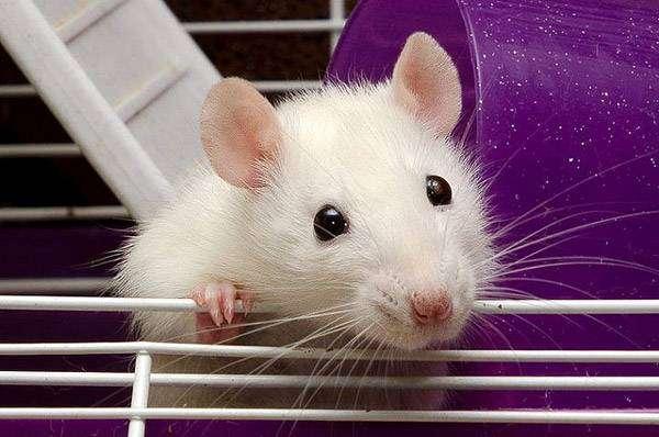 Декоративная белая крыса, фото болезни грызунов фотография картинка