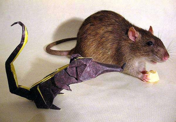 Крыса что-то ест, фото болезни крыс фотография картинка