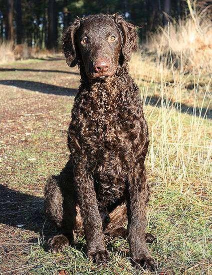 Курчавошерстный ретривер, фото породы охотничьих собак фотография картинка