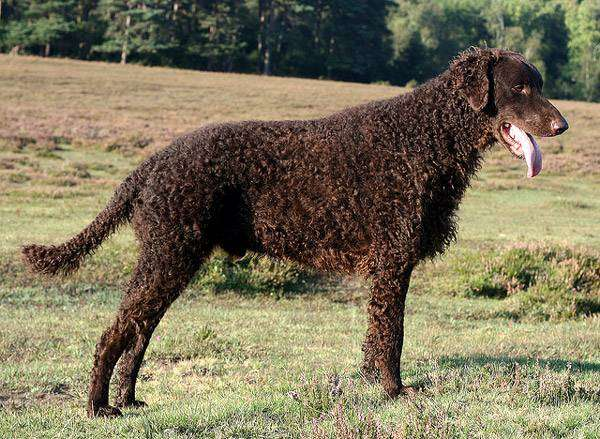 Курчавошерстный ретривер, фото фотография породы собак картинка