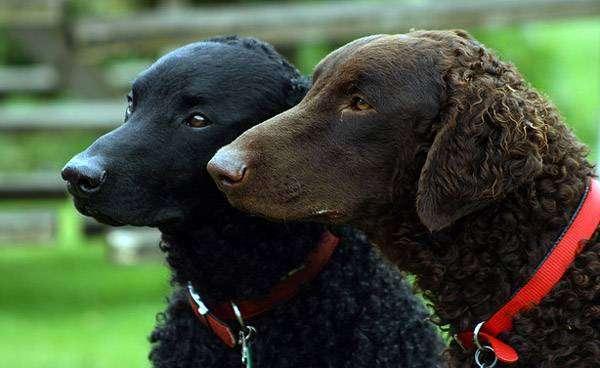 Курчавошерстный ретривер, фото породы собаки фотография картинка