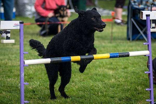 Курчавошерстный ретривер, фоо породы собаки фотография картинка