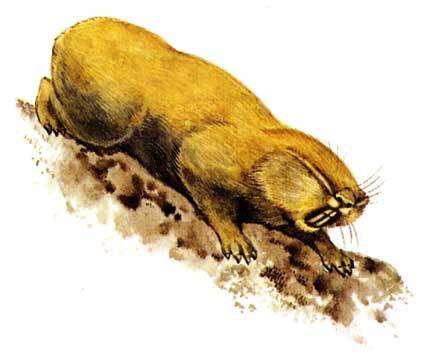 Гигантский слепыш (Spalax giganteus), рисунок картинка хомяки грызуны