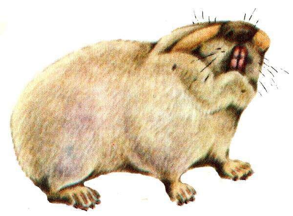 Гигантский слепыш (Spalax giganteus), рисунок картинка грызуны хомяковые