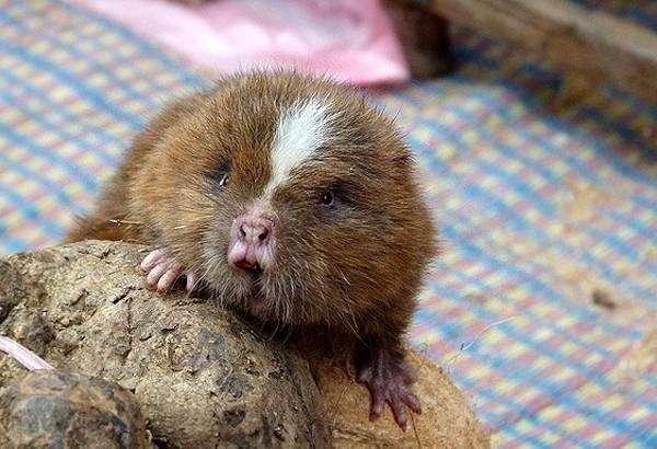 Малая бамбуковая крыса (Cannomys badius), фото фотография картинка грызуны