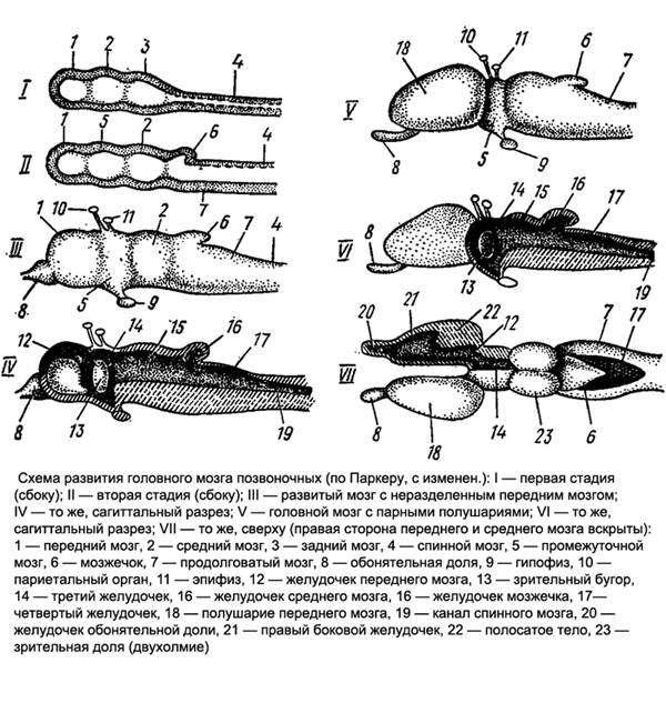 Схема развития головного мозга позвоночных, рисунок картинка животные
