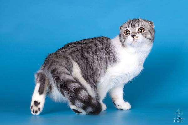 Хайленд фолд, кошки фото поведение кошки