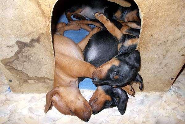 Щенки цвергпинчера, фото воспитание щенка фотография