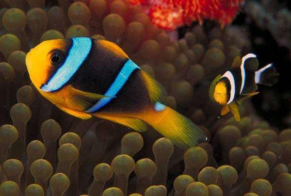 Двуполосый амфиприон (Amphiprion bicinctus) в анемоне, фото морской аквариум фотографии