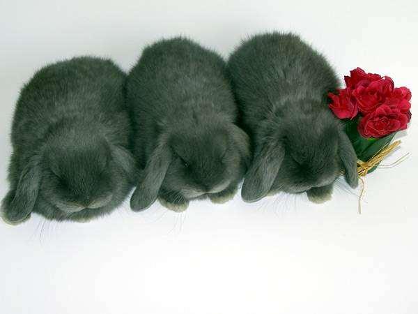 Карликовые кролики - карликовые барашки, фото содержание кроликов фотография