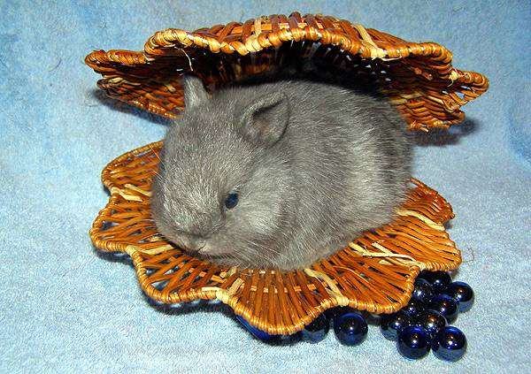 Карликовый лисий кролик окрас голубой, фото содержание уход кроликов фотография