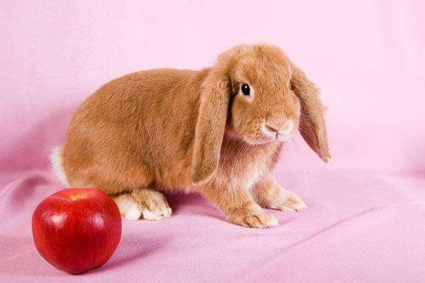 Карликовый кролик баран окрас красный, фото содержание кроликов фотография