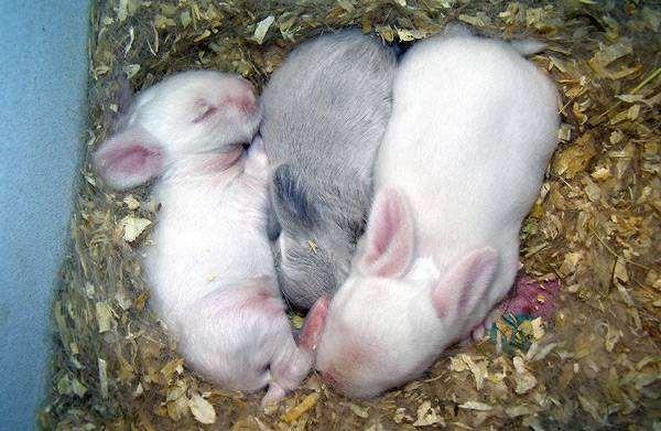 Карликовые кролики породы карликовый барашка, фото содержание кроликов уход фотография