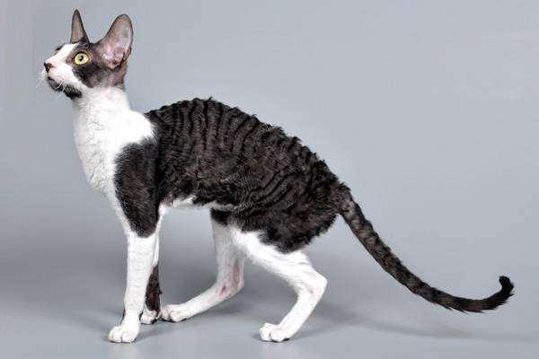 Корниш-рекс, фото путешествия с животными фотография
