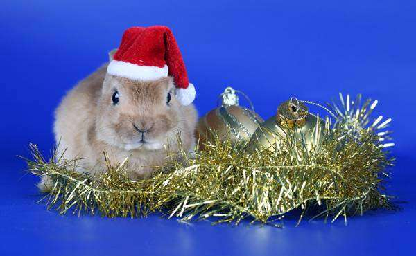 Карликовый кролик породы карликовый рекс, фото зайцеобразные фотография