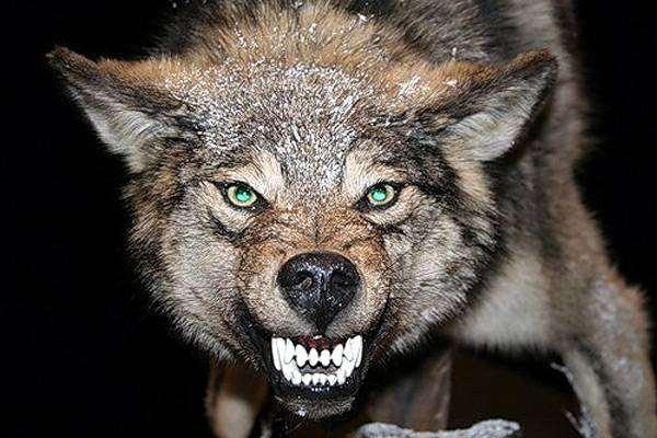 Оскаленный волк, фото хищные животные фотография