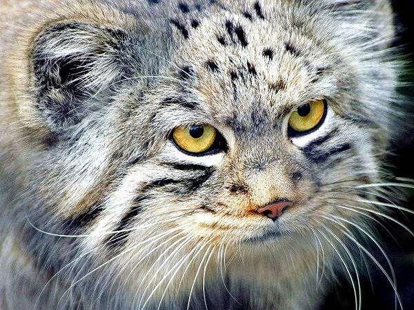 Манул  (Felis [Otocolobus] manul), фото хищные кошки фотография