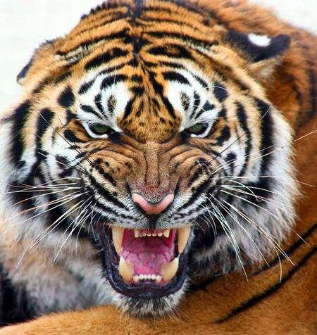 Оскаленный тигр, фото хищные кошки фотография