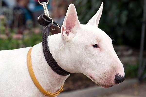 Бультерьер, фото породы собак фотография собаки