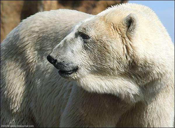 Полярный медведь (Ursus maritimus), фото медвежьи фотография