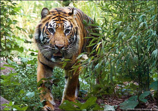Panthera tigris Tiger  IUCN Red List