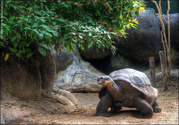 Сухопутная гигантская черепаха (Geochelone elephantopus), фото рептилии фотография