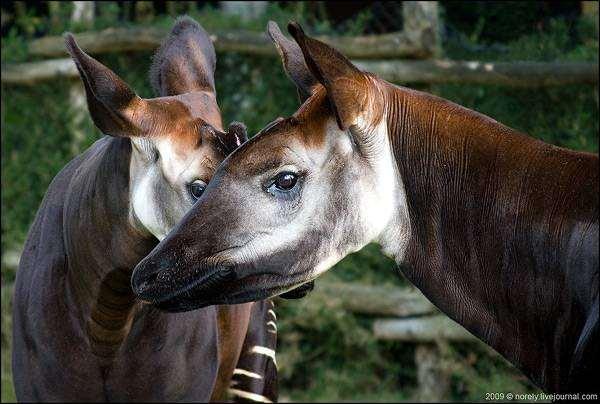 Окапи (Okapia johnstoni), фото парнокопытные фотография