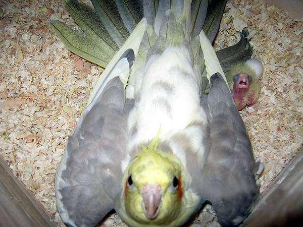 Корелла с птенцом, фото разведение попугаев фотография