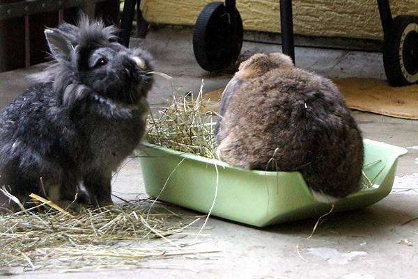 Откорм кролика на мясо
