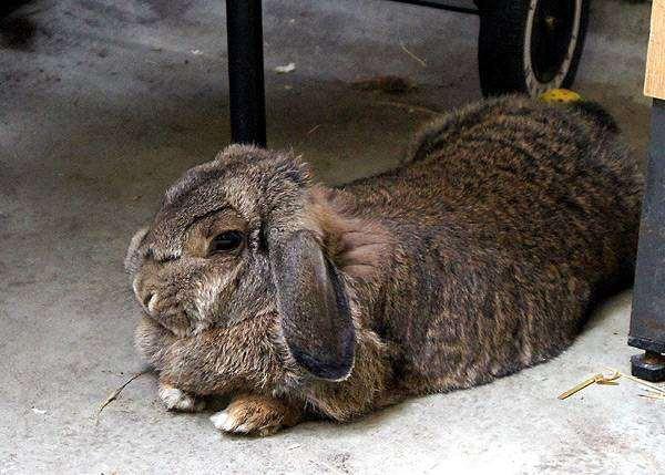Вислоухий кролик, фото болезни кроликов фотография