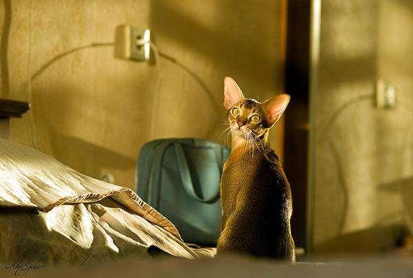 Абиссинская кошка, фото путешествия с животными фотография