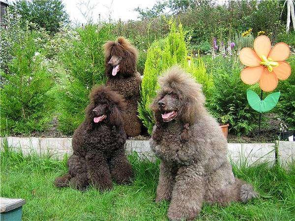Большие коричневые пудели, фото породы собак фотография