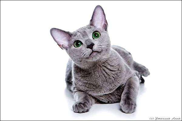 Русская голубая кошка, фото вопросы про кошек фотография