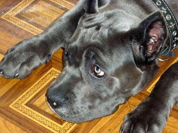 Кане-корсо, фото болезни собак фотография