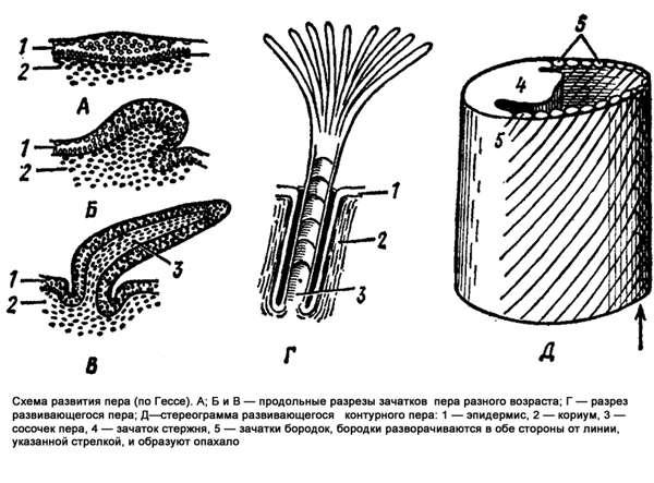 Схема развития пера, рисунок