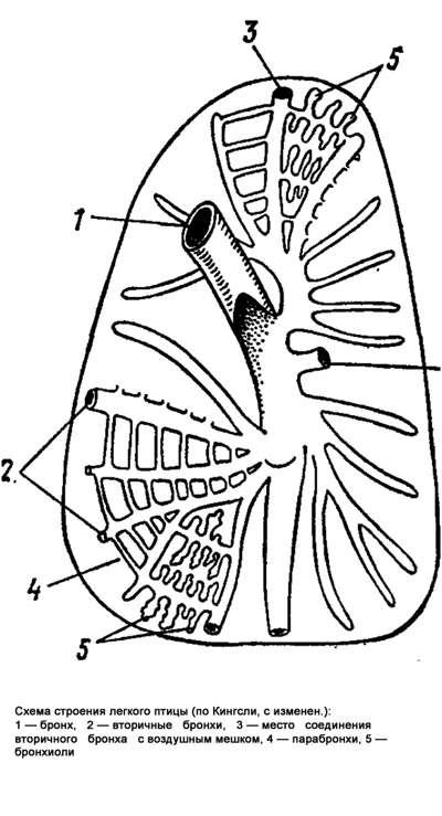 Схема строения легкого птицы, рисунок картинка.  Особенности организации птиц (Aves) .